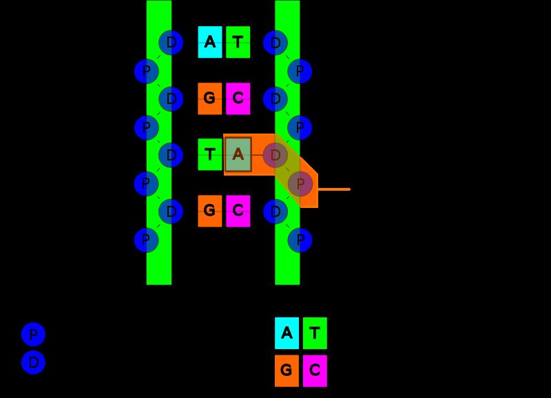 Structure_de_l_ADN