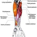 Muscles de l'avant-bras