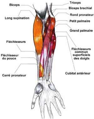 Les muscles épitrochléens du membre supérieur