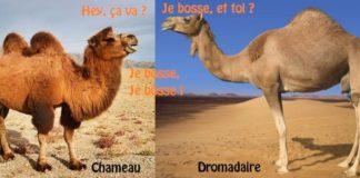chameau a deux bosses dromadaire a une bosse