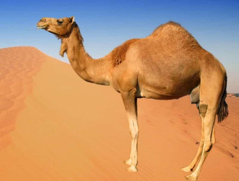 Caractéristique du dromadaire à une bosse, différence chameau deux bosses