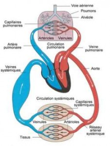 Système cardiovasculaire