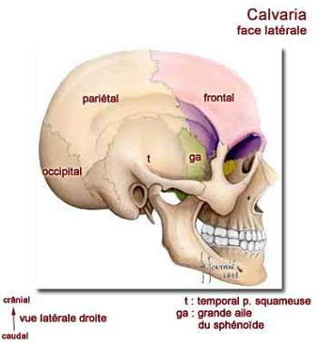 Face latérale de la calvaria