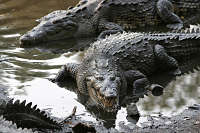 Reptile_crocodilien_crocodile_d-amerique