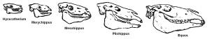 Évolution du crâne du cheval.