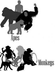 Différence entre Ape et Monkey