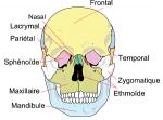 Le crâne de face, et ses os.