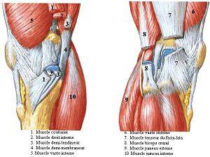 Les haubans musculaires du genou