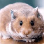 Hamster photo de face