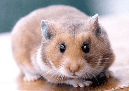 hamster_photo_portrait_feule_dents