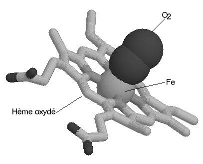 Fixation d'une molécule de dioxygène.