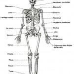 Un squelette humain, d'homme/femme.