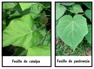 Différence entre les feuilles de catalpa et de paulowina.