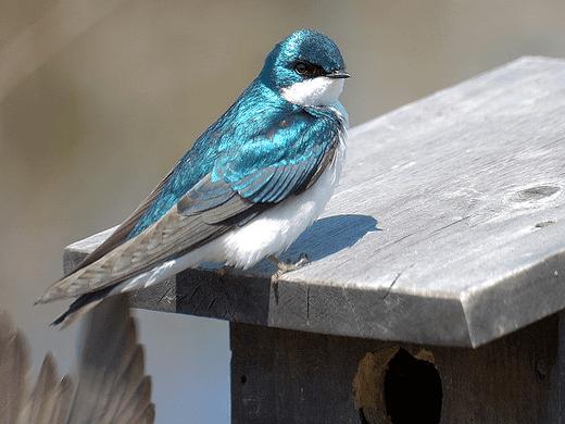 Une hirondelle bleue