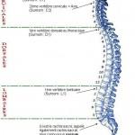 La colonne vertébrale et le nom des différentes vertèbres, cervicales, dorsales et lombaires.