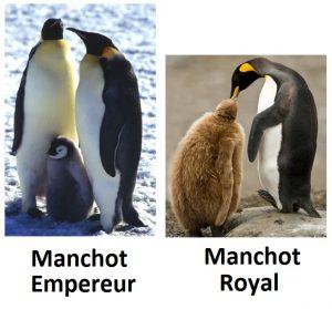 bébé_manchot_royal_empereur_différences_antarctique