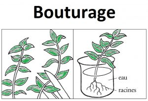 bouturage