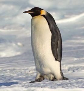 manchot_empereur_antarctique