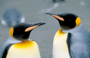 manchot_royal_antarctique