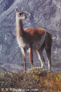guanaco