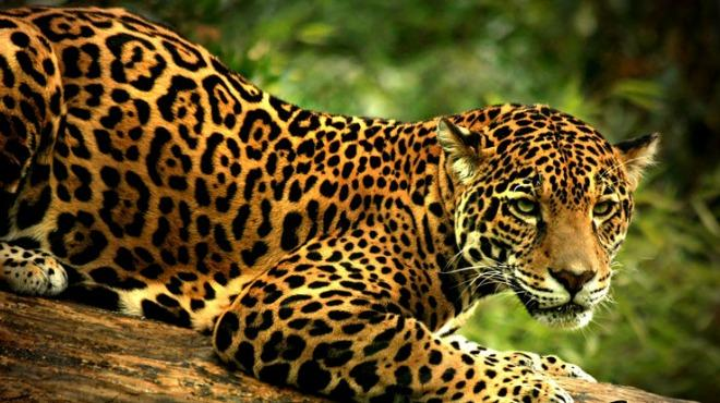 jaguar_allongé
