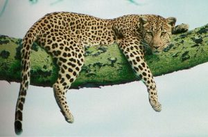 léopard_allongé