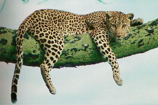 quelle est la diff rence entre jaguar l opard et gu pard. Black Bedroom Furniture Sets. Home Design Ideas