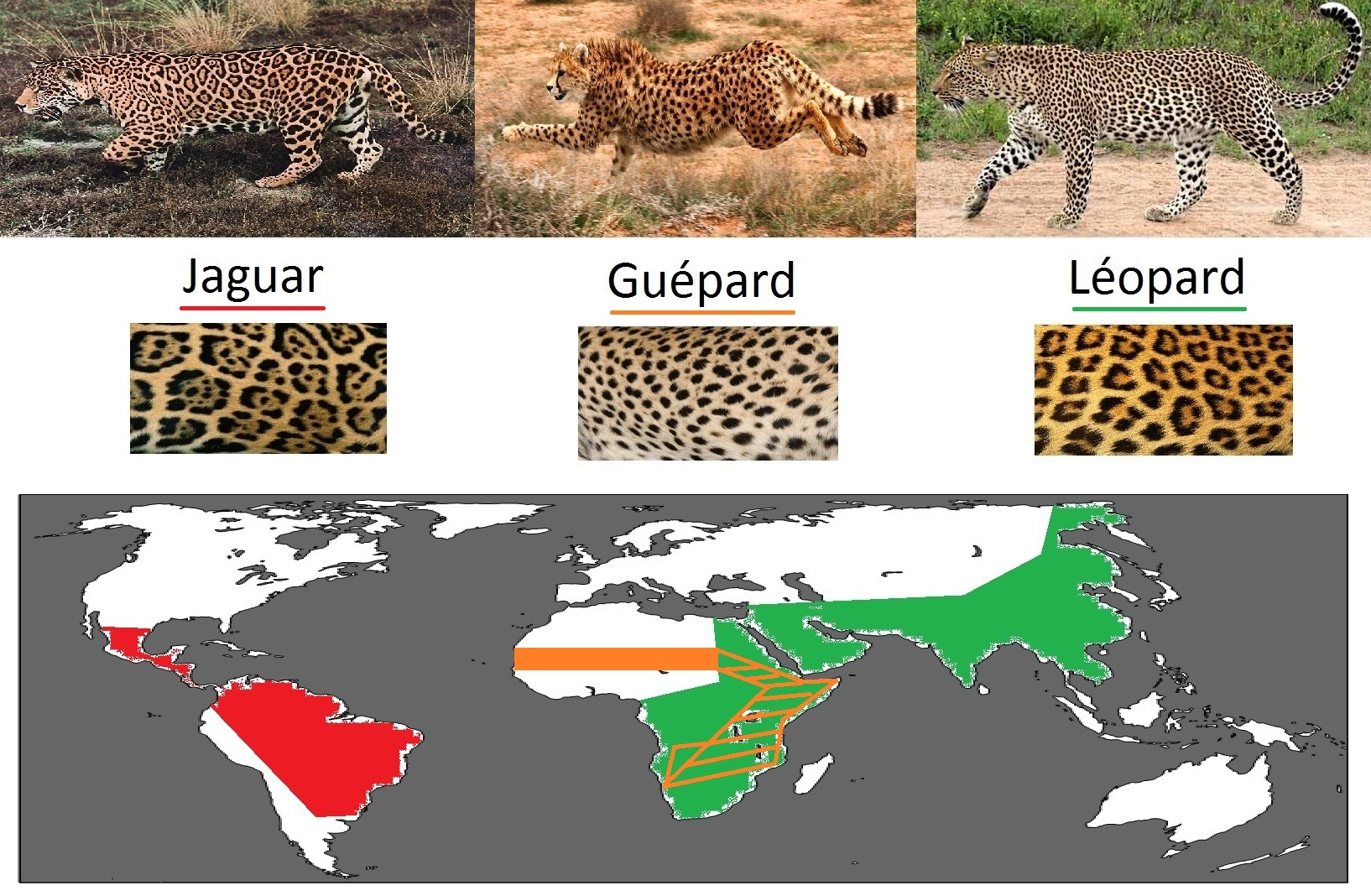 léopard_jaguar_guépard_répartition_pelage_différence