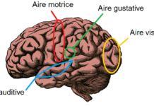 Les différentes aires du cerveau: auditive, gustative, motrice, visuelle.