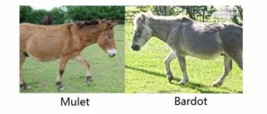 Mulet et Bardot