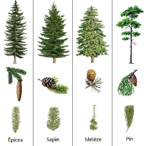 conifères_épicéa_sapin_mélèze_pin_feuilles_arbres_cônes