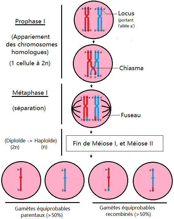 crossing_over_méiose_prophase_métaphase_chiasma