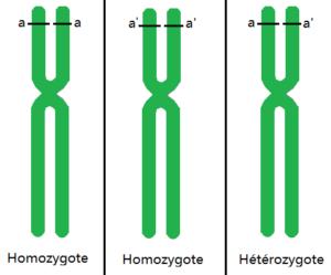 différence entre homozygote et hétérozygote