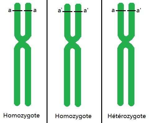 différence_hétérozygotes_homozygotes