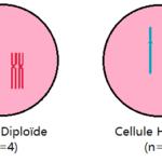 différence entre haploïde et diploïde
