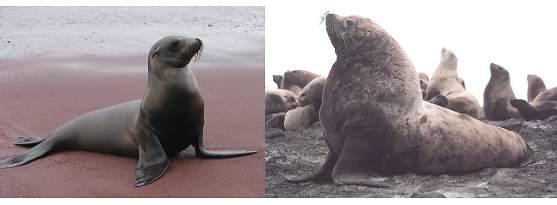 Otarie ou Lion de mer ?