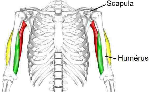 Humerus_Scapula_triceps