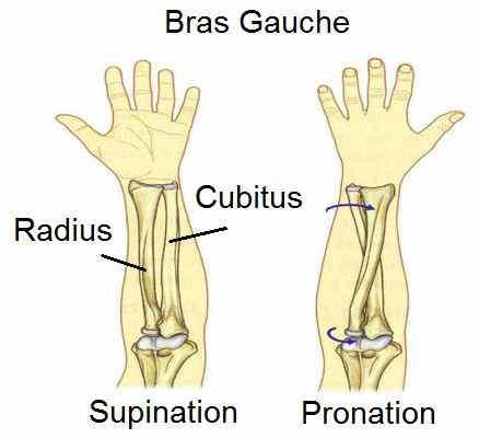 Radius_Cubitus_Supination_Pronation_difference