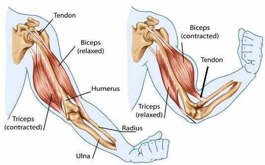biceps_triceps_radius_cubitus_difference