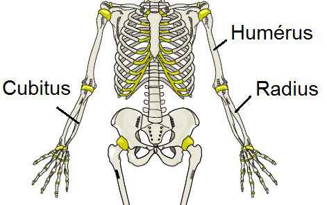 cubitus_radius_humerus_les_placer_difference