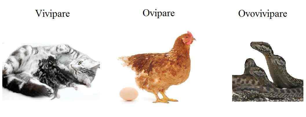 vivipare_ovipare_ovovivipare_difference