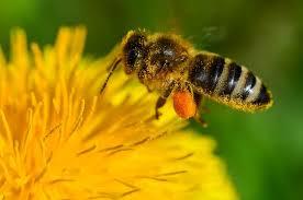 """Une abeille qui butine. Elle stocke le pollen sur ses pattes qui contiennent des petites """"corbeilles"""" pour transporter le pollen jusqu'à la ruche."""