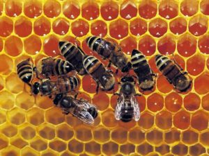 Alvéoles d'une ruche d'abeille