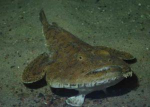 Une baudroie commune, poisson avec des dents !