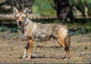 Un coyote d'Amérique du Nord (Louisiane)