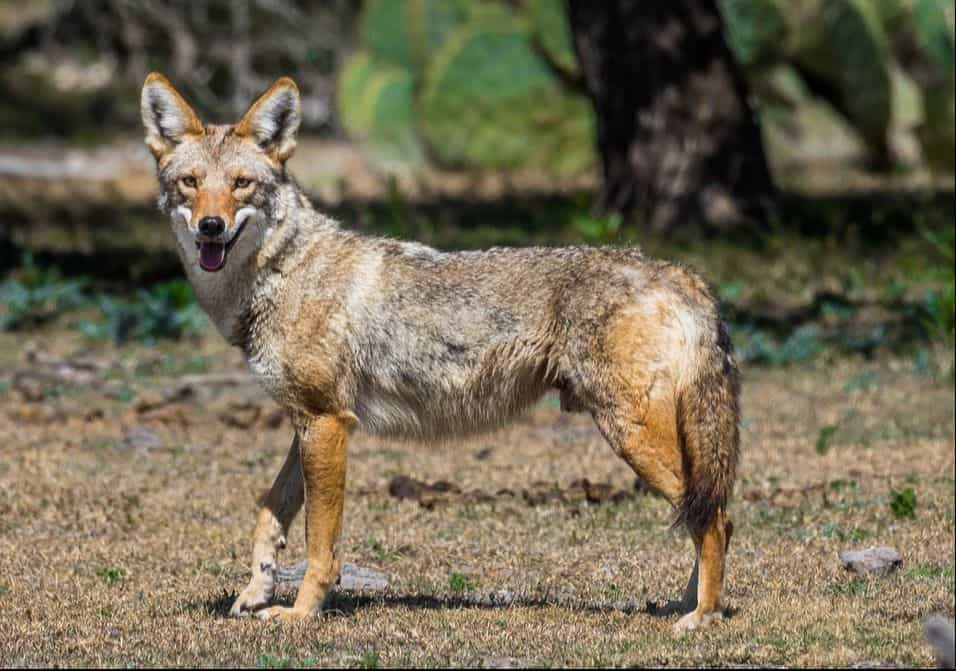 coyote_amérique_nord_louisiane