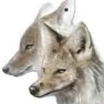 Tête de coyote