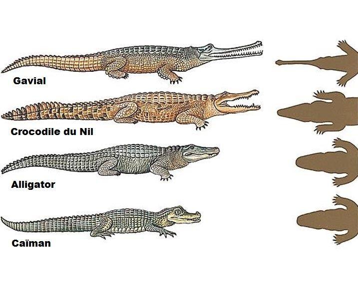 schéma des différences entre gavial, crocodile, alligator et caïman