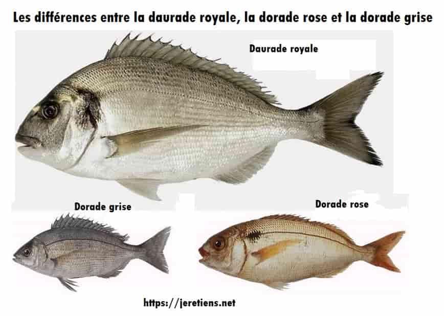 daurade_royale_dorade_rose_dorade_grise_différence