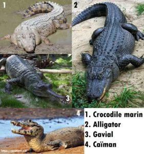 Différences entre le crocodile, l'alligator, le gavial et le caïman.